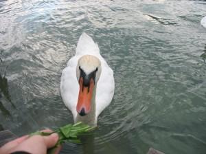 Lebada pe lacul Attersee